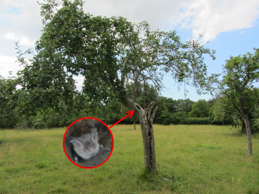 Apple tree with bat roost
